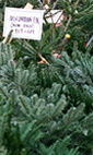 Christmas Trees: The Christmas Forest, Stoke Newington photo