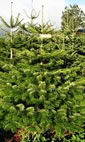 Christmas Trees: Green's Trees